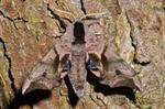 Eyed Hawk-moth (Smerinthus ocellata)